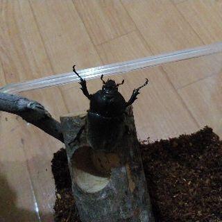 カブトムシ (オス、メス) 1匹ずつのペア