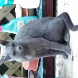 おとなしいロシアンブルーの猫です。