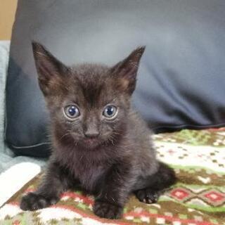 【急募】黒の仔猫の里親募集