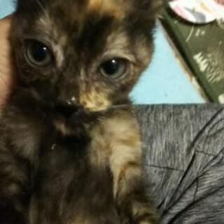 約2ヶ月の子猫   錆猫  女の子