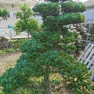 庭木 植木 松  多数