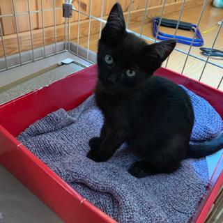 子猫  黒猫ちゃん生後2ヶ月ぐらい