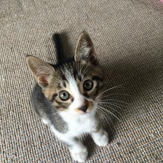 子猫の里親募集します♡生後2か月の男の子