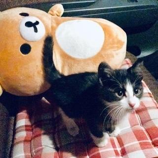 生後1、2ヶ月くらいのメス猫引き取れる方