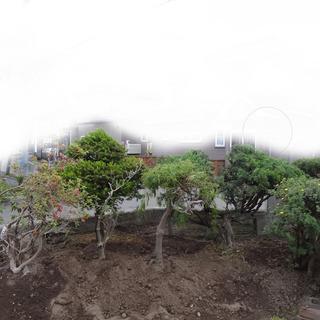 庭木 ご自身で掘り起こし、積み込み運搬できる方にお譲りします。