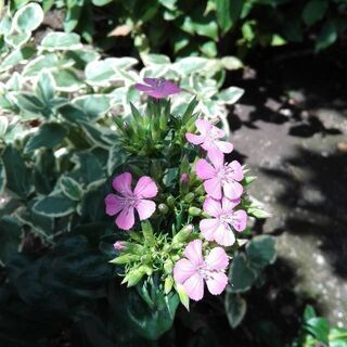一部取引終了/【ムベの庭先】花の苗🌱2種 8/5 で 6センチ程...