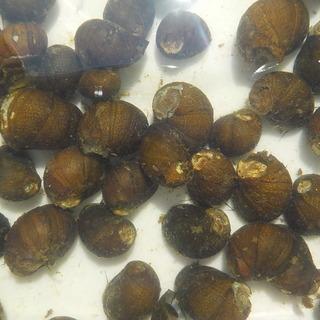石巻貝 50匹+α 水槽のコケ取り掃除屋です シーズン限定  ...