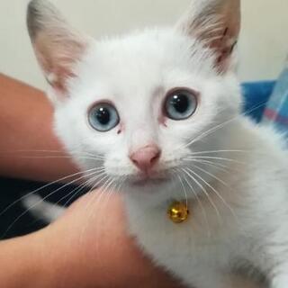 LiteBlue Eye  白子猫♂2ヶ月里親様募集