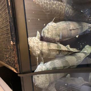 ポリプセット、即戦力、熱帯魚