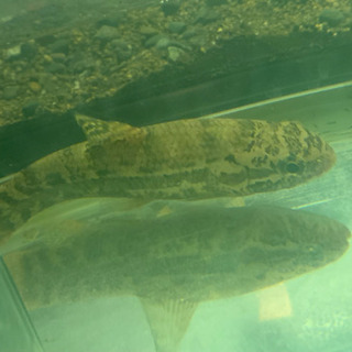 人工飼料餌付け済み!ブラックタライロン アタバポ産 熱帯魚 大型魚