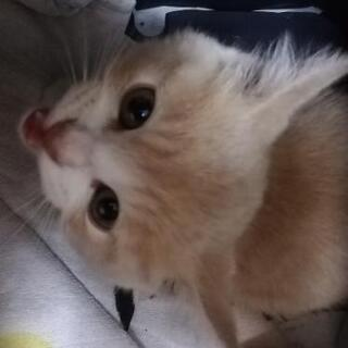 2ヶ月洋猫ミックスミルクティー色のみ里親様募集