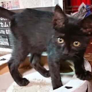 人懐っこい黒猫の子猫里親募集。
