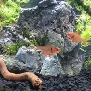 (取引中)熱帯魚差し上げます