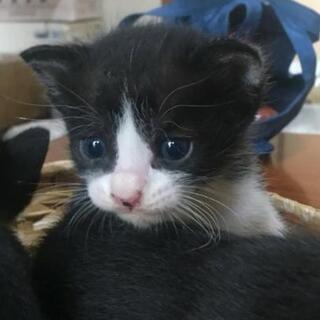 魔女の宅急便のキキのような、可愛い黒猫と白黒(はちわれ)の里親募集中