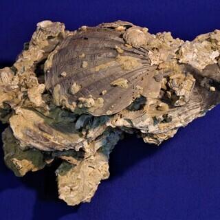 帆立貝化石 重量約5.7kg 貝類化石群集