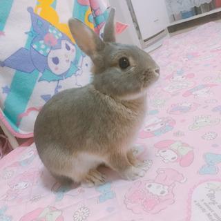 ミニウサギ♂の優しい里親さんへ - 岡崎市