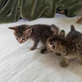 双子仔猫の里親募集