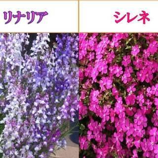 リナリア(姫金魚草)の種200粒とシレネ・ピンクパンサーの種10...