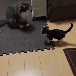 人馴れ抜群白黒子猫