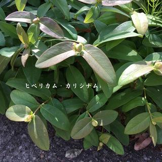 ヒペリカム・カリシナム/1苗50円