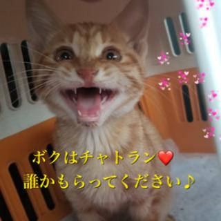 里親決定❤️可愛い仔猫❤️チャトラン❤️もらってください