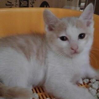 子猫二匹か、親子で、ミルクティ色雄 二か月齢