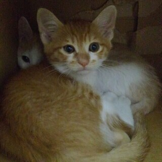 子猫二匹か、親子で、茶白雄 二か月齢