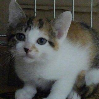 子猫二匹か、親子で、白三毛めす 二か月齢