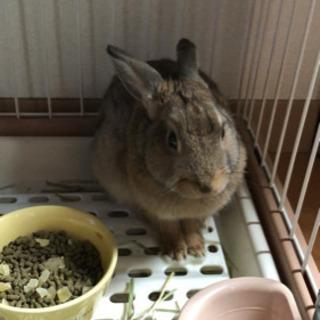 7ヶ月で元気いっぱいのミニウサギ