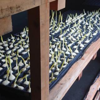 【国産・無農薬・水耕栽培】安心安全 スプラウトにんにくの画像