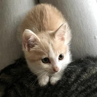 人懐こい2ヶ月のオスの子猫の里親になって下さる方募集