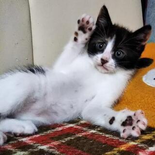 生後一ヶ月位の子猫の里親さん募集します。