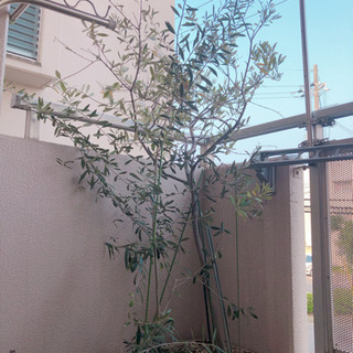オリーブの木 2品種 2鉢