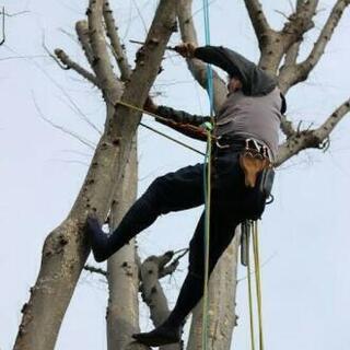 危険な傾いた大木や高木伐採承ります