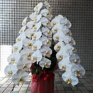 胡蝶蘭(生花) 白