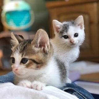 姉妹猫貰って下さい
