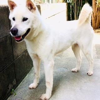 紀州犬の女の子の里親さん募集です - 犬