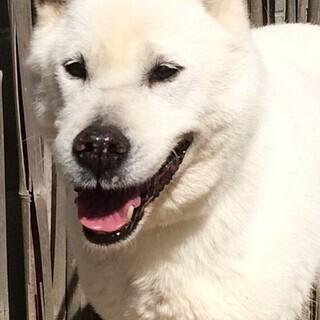 紀州犬の女の子の里親さん募集です - 里親募集