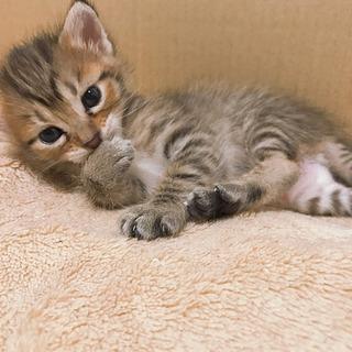 生後3週間 子猫 キジトラ キジ白