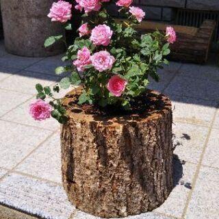 癒やしの切り株。ログプランター!(丸太の植木鉢)。茨城県潮来市。