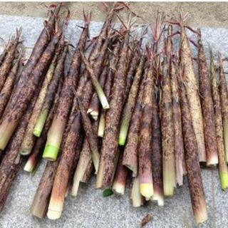 筍 3kg タケノコ 小竹 こずく 真竹