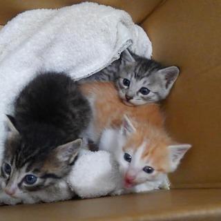 生後1か月ほどの子猫の里親さん募集です。