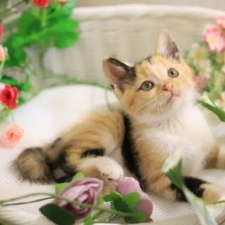 ☆三毛猫☆ 2ヶ月 可愛いさっちゃん♪