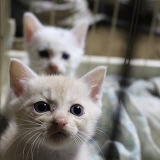 里親募集。生後1か月程度の子猫 2匹