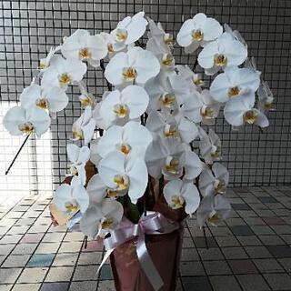 胡蝶蘭(生花) 白 ②