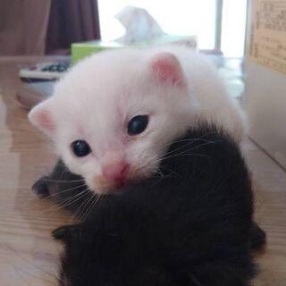 子猫里親募集です。写真更新!