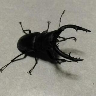 ノコギリクワガタ  幼虫います。