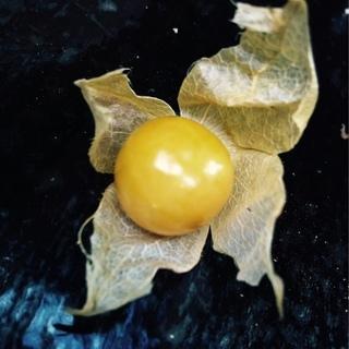 ほおずきトマト*苗 1ポット50円(10ポットから〜)