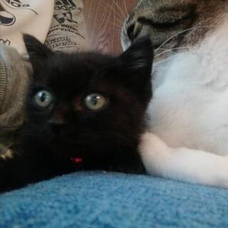 2ヶ月弱600gの洋猫Mix 黒猫♂里親様募集