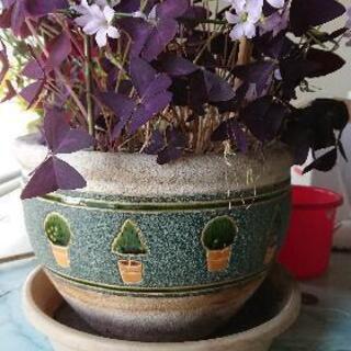 鉢植え オキザリス 紫(値下げしました)